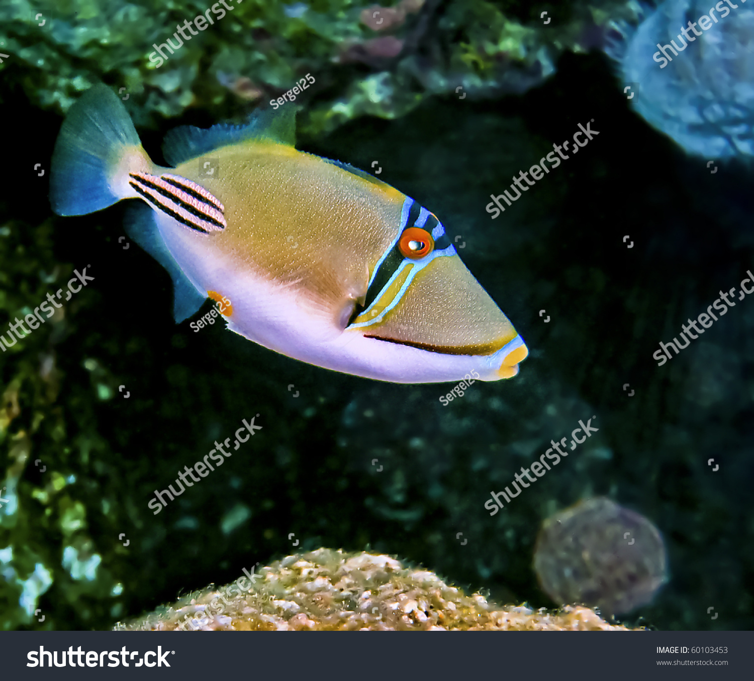 picasso triggerfish northern beach eilat city stock photo 60103453