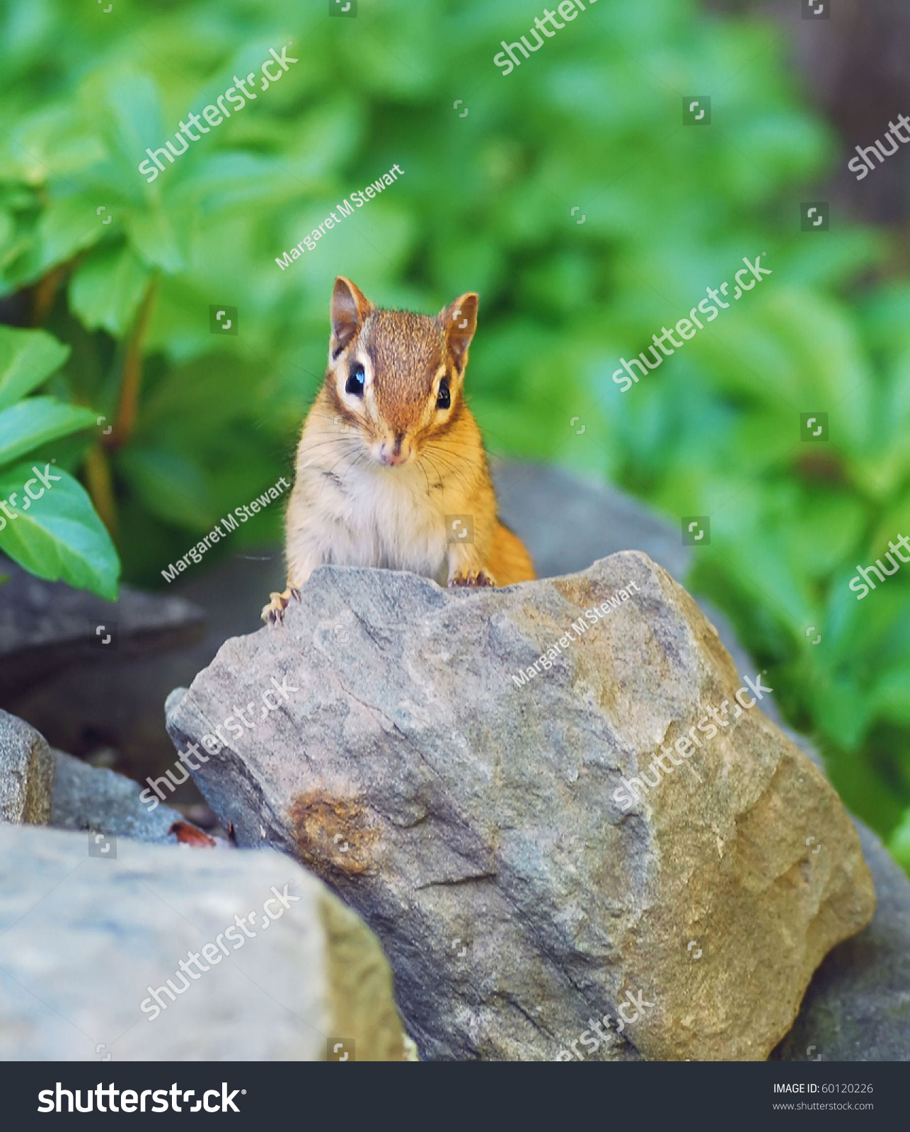 Curious Baby Chipmunk Explores His World Stock Photo