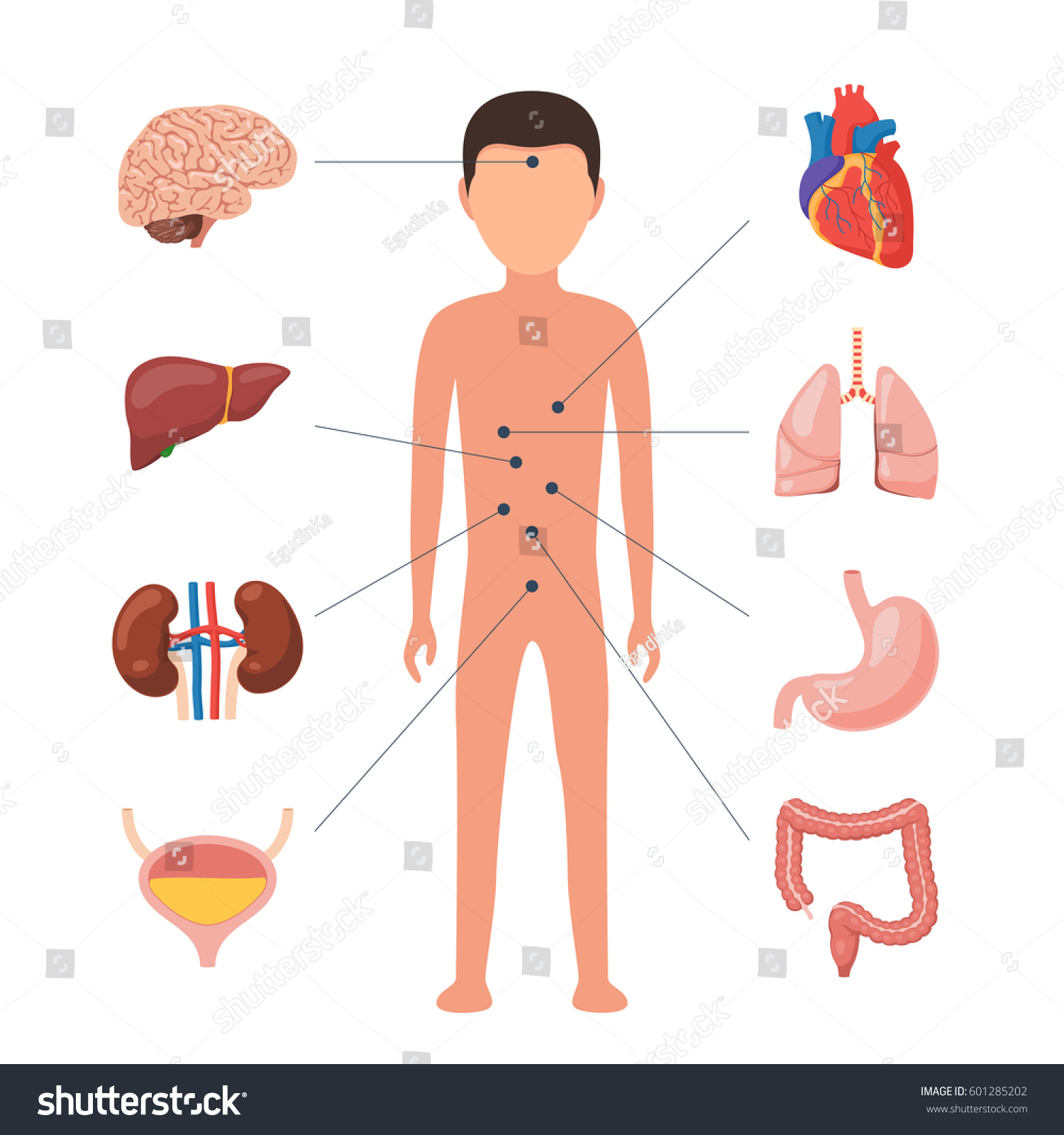 Human Body Anatomy Medical Diagram Organs Stock Vector Royalty Free