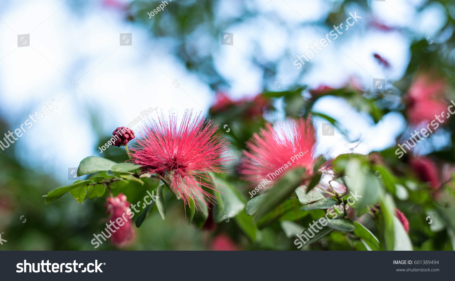 Pink Spiky Flowers Blurry Background Florida Pink Stock Photo Edit