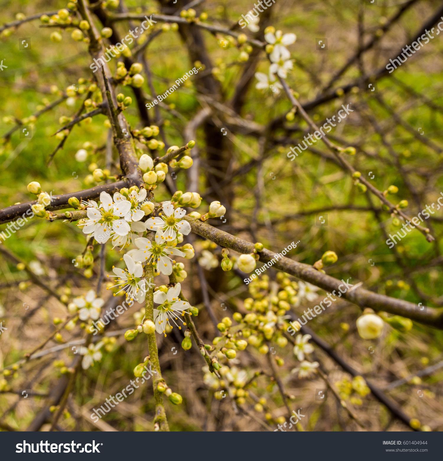 Early Hawthorn Springtime Flowers Wyre Estuary Stock Photo Edit Now