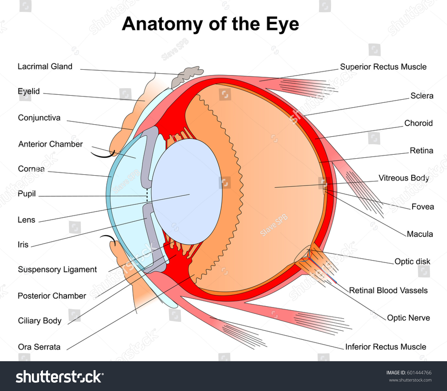 Anatomy Eye Color Vector Illustration Stock Vector (Royalty Free ...