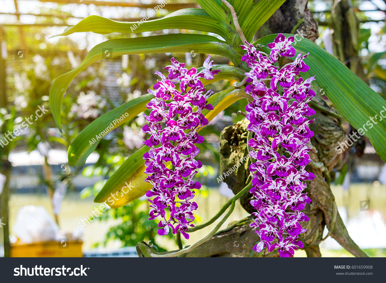 Beautiful Orchid Flowers Blurry Background White Stock Photo Edit