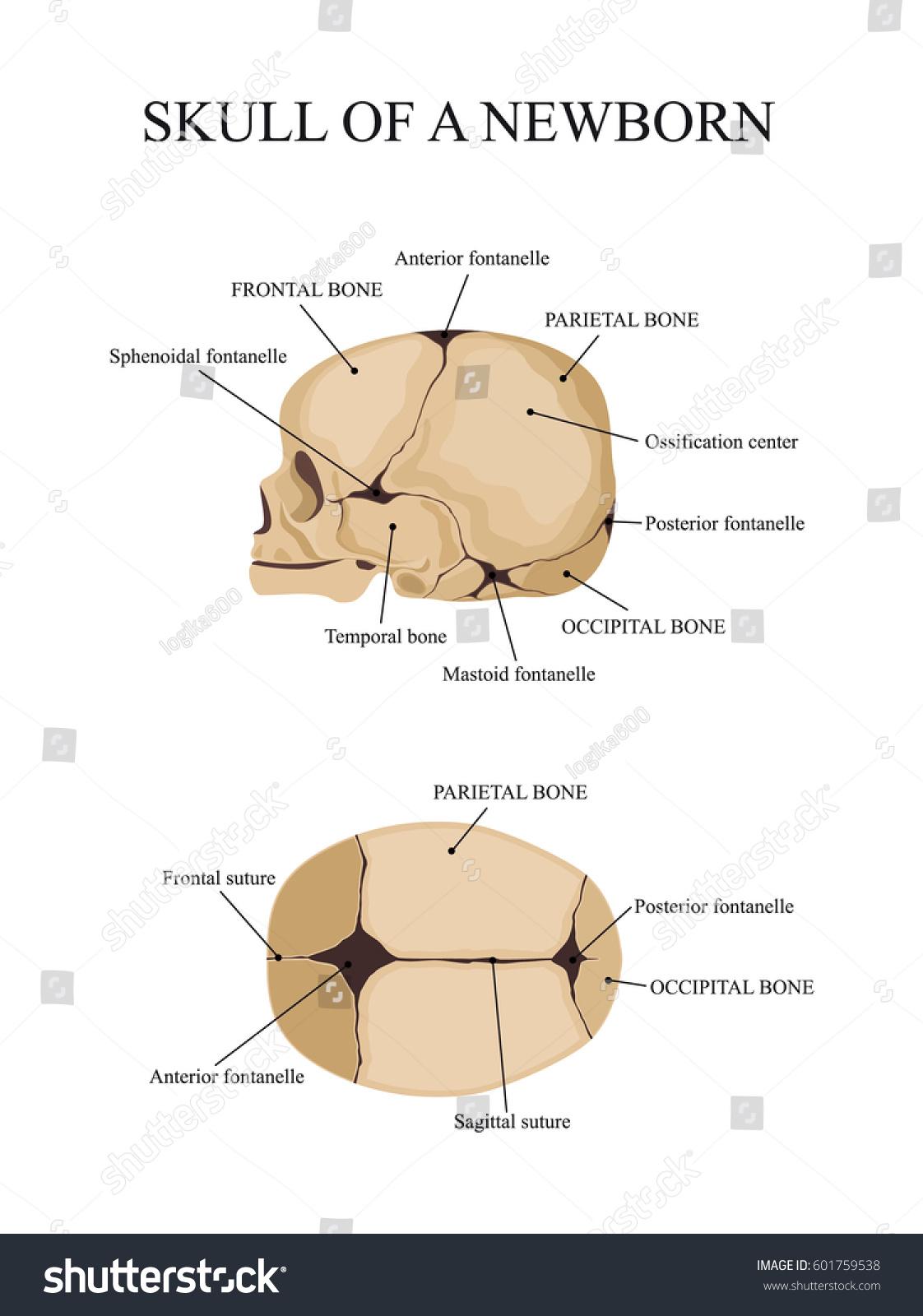Skull Newborn Human Anatomy Stock Vector Royalty Free 601759538
