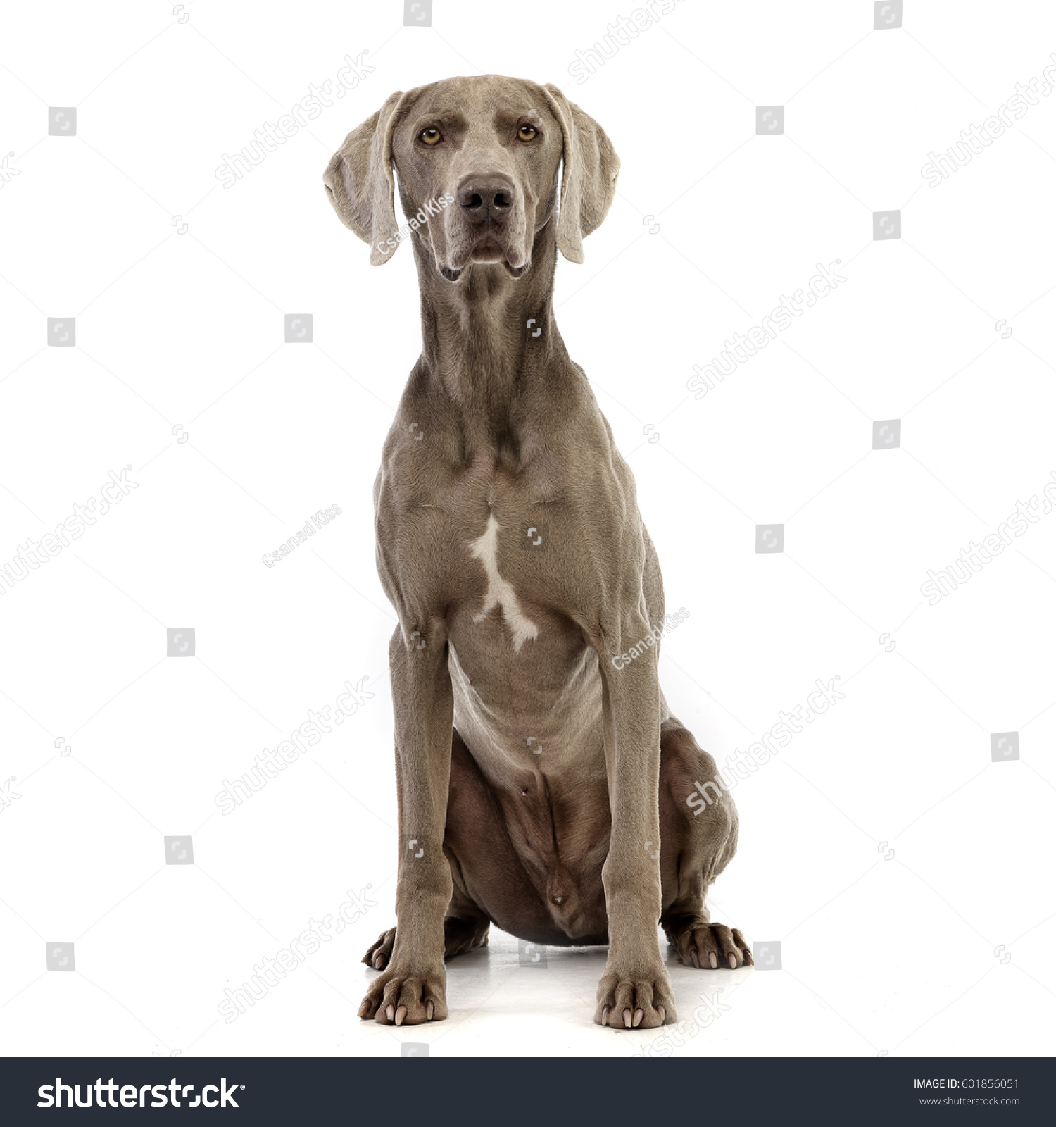 Studio shot of an adorable Weimaraner sitting on white background. #601856051