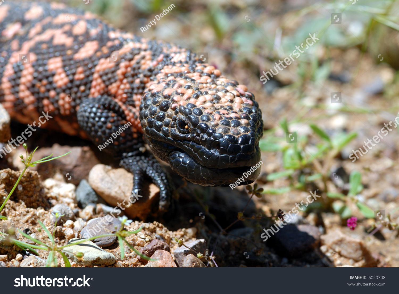 U S Lizard The Endangered ...