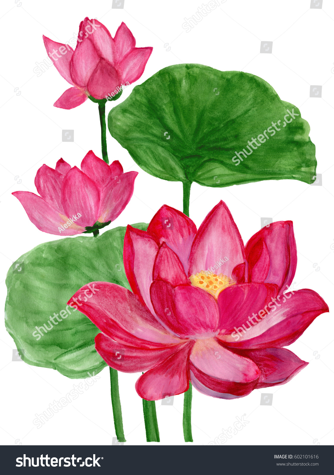 Set With Pink Flowers And Buds Sacred Lotus Symbol Of India Water