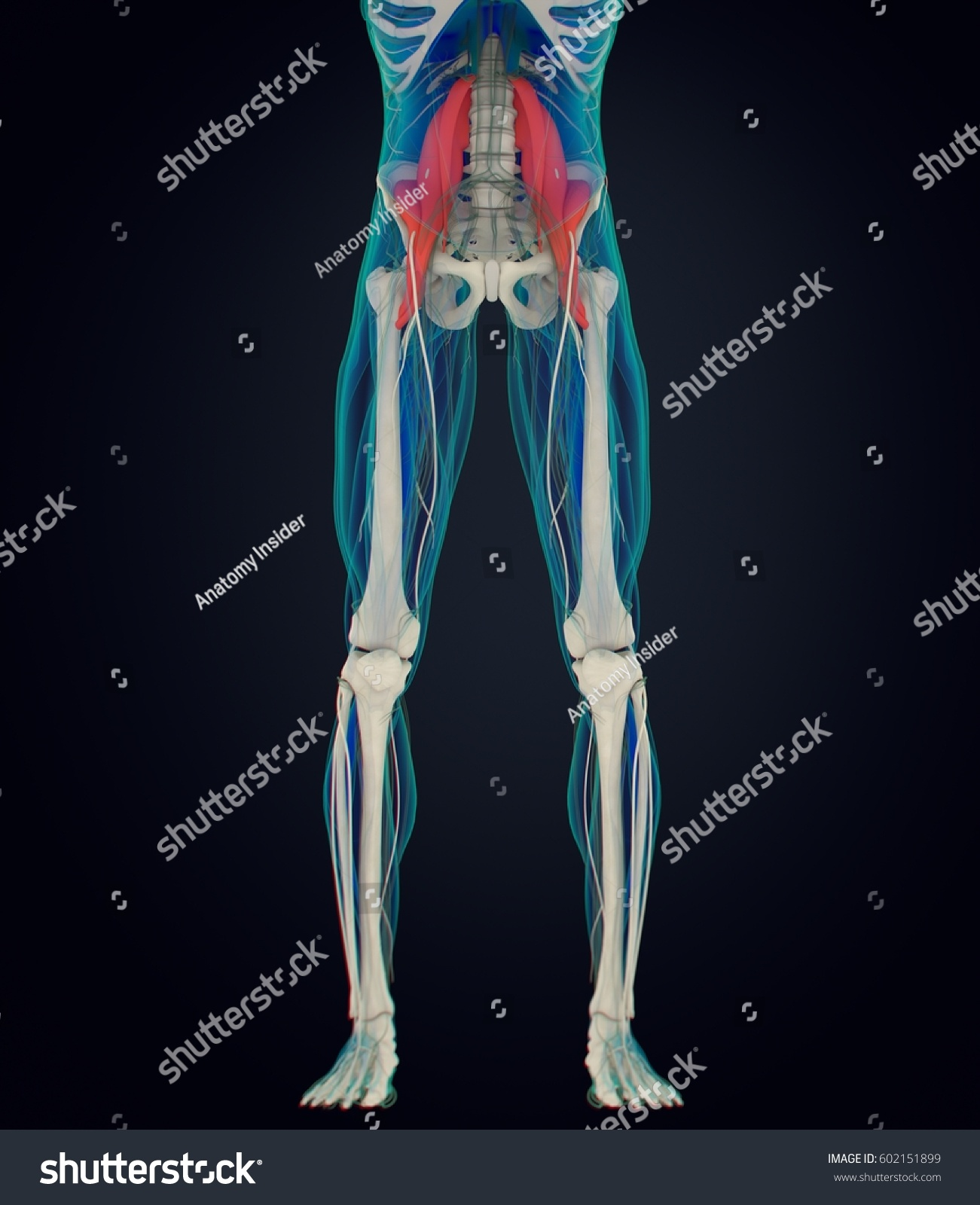 Human anatomy, psoas muscle, soul muscle, core strength, yoga ...