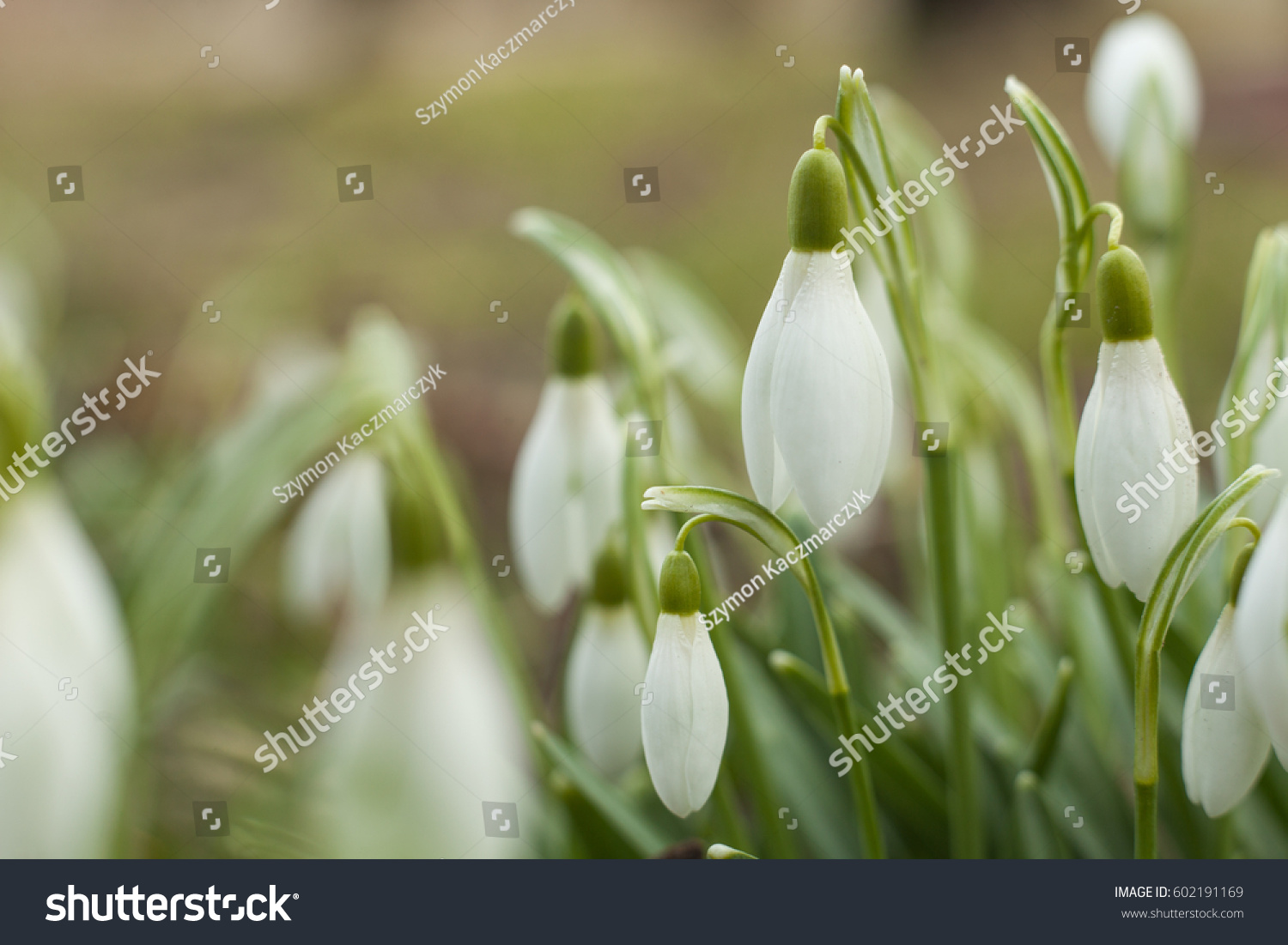 Beautiful Snowdrop The First Sign Of Spring The Snow White Flowers