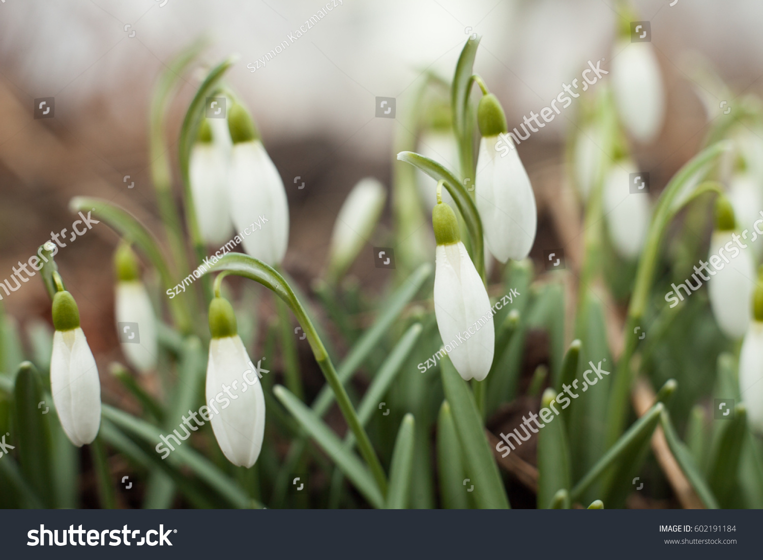 Beautiful Snowdrops The First Sign Of Spring The Snow White