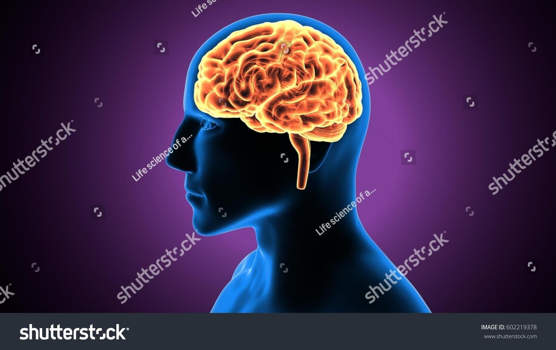 3 D Illustration Human Brain Anatomy Stock Illustration 602219378 ...