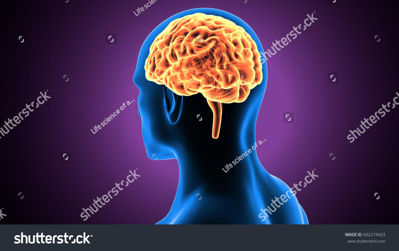 3 D Illustration Human Brain Anatomy Stock Illustration 602219423 ...