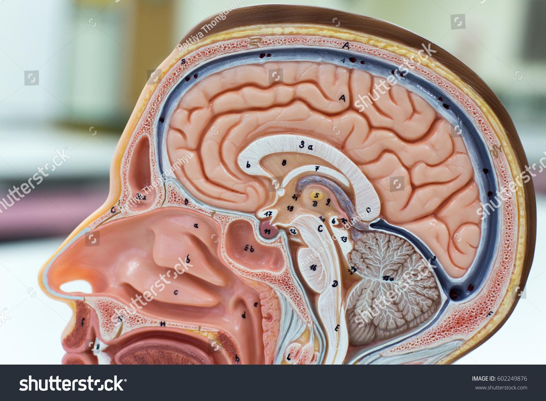 Model Brain Humanrespiratory System Skeletal Head Stock Photo ...