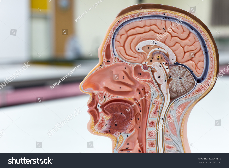 Model Brain Humanrespiratory System Skeletal Head Stock Photo (Edit ...