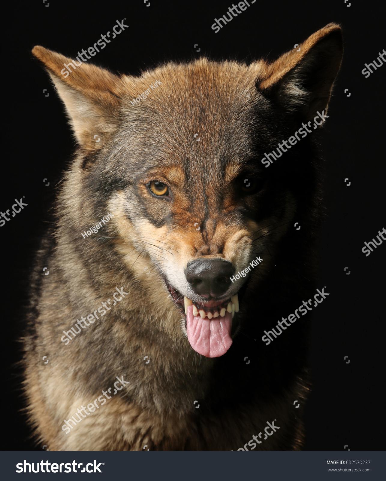 Growling Wolf Studio Shot Black Background Stock Photo