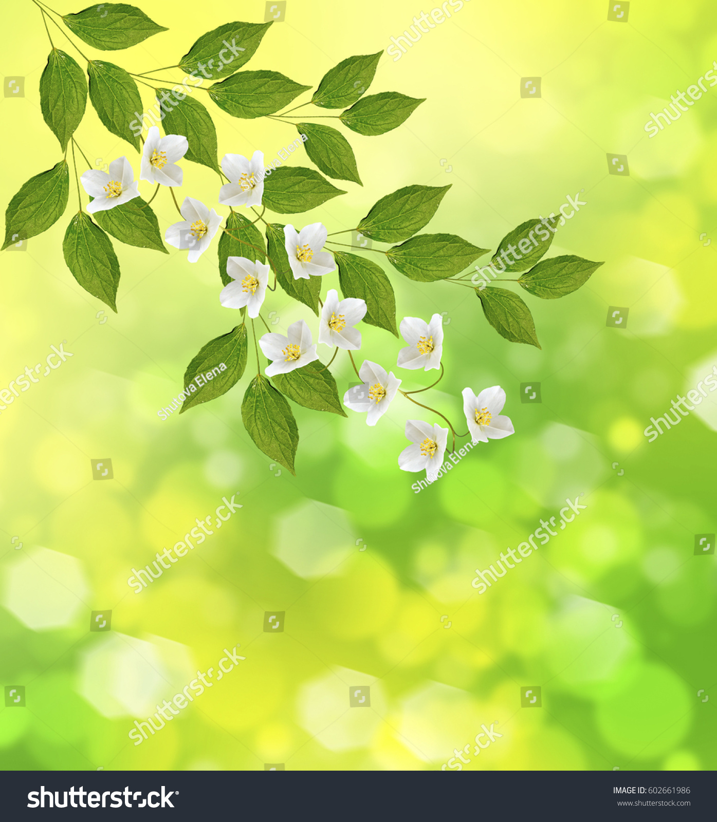 White Jasmine The Branch Delicate Spring Flowers Ez Canvas