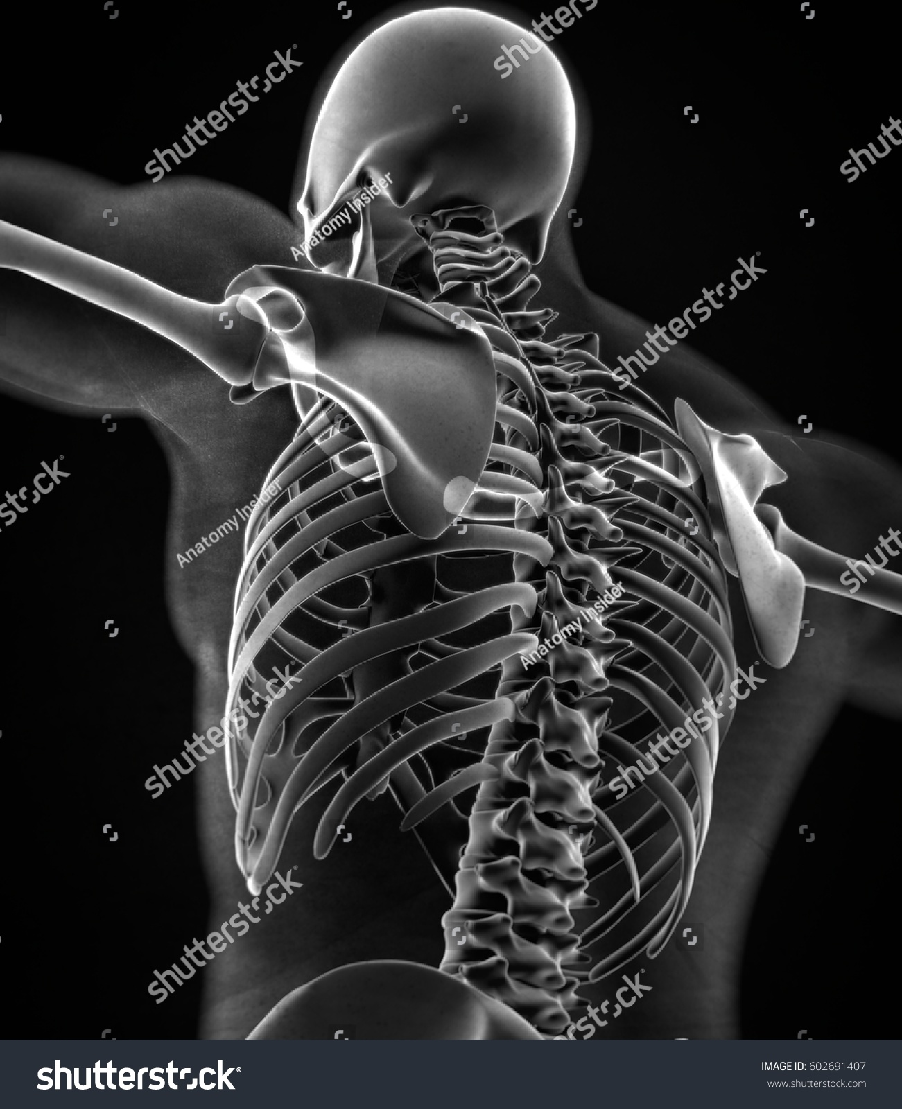 Collar Bone Xray Human Anatomy Skeletal Stock Illustration 602691407