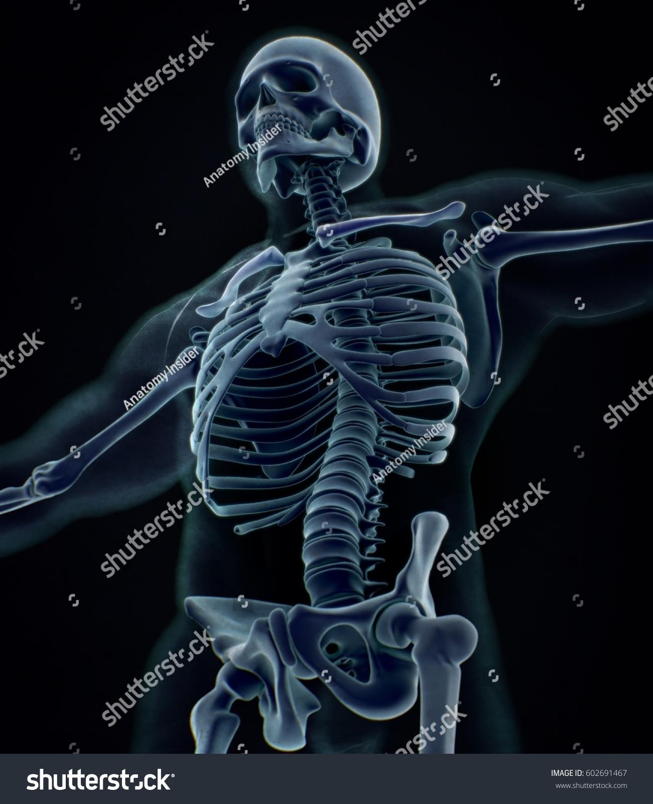 Collar Bone Xray Human Anatomy Skeletal System Torso Ribs 3d