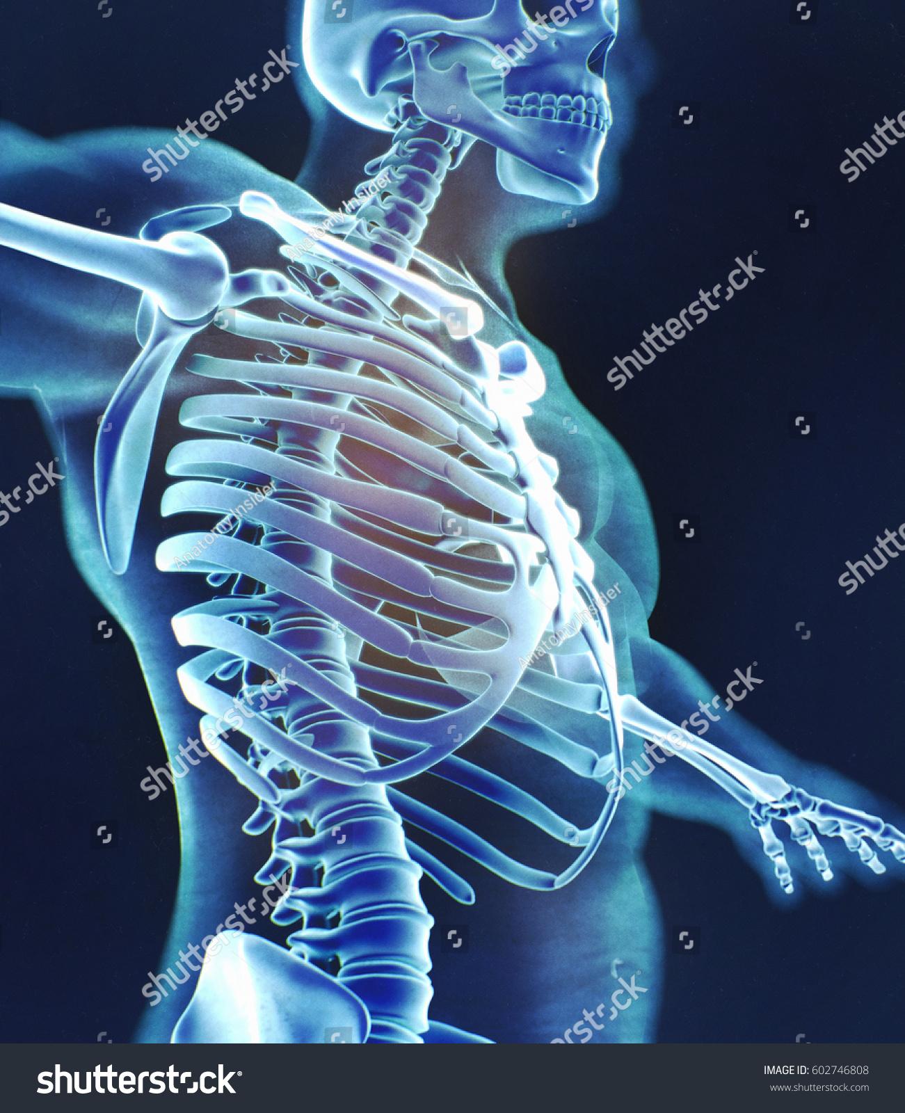 Xray Image Human Anatomy Torso Skeletal Stock Illustration 602746808