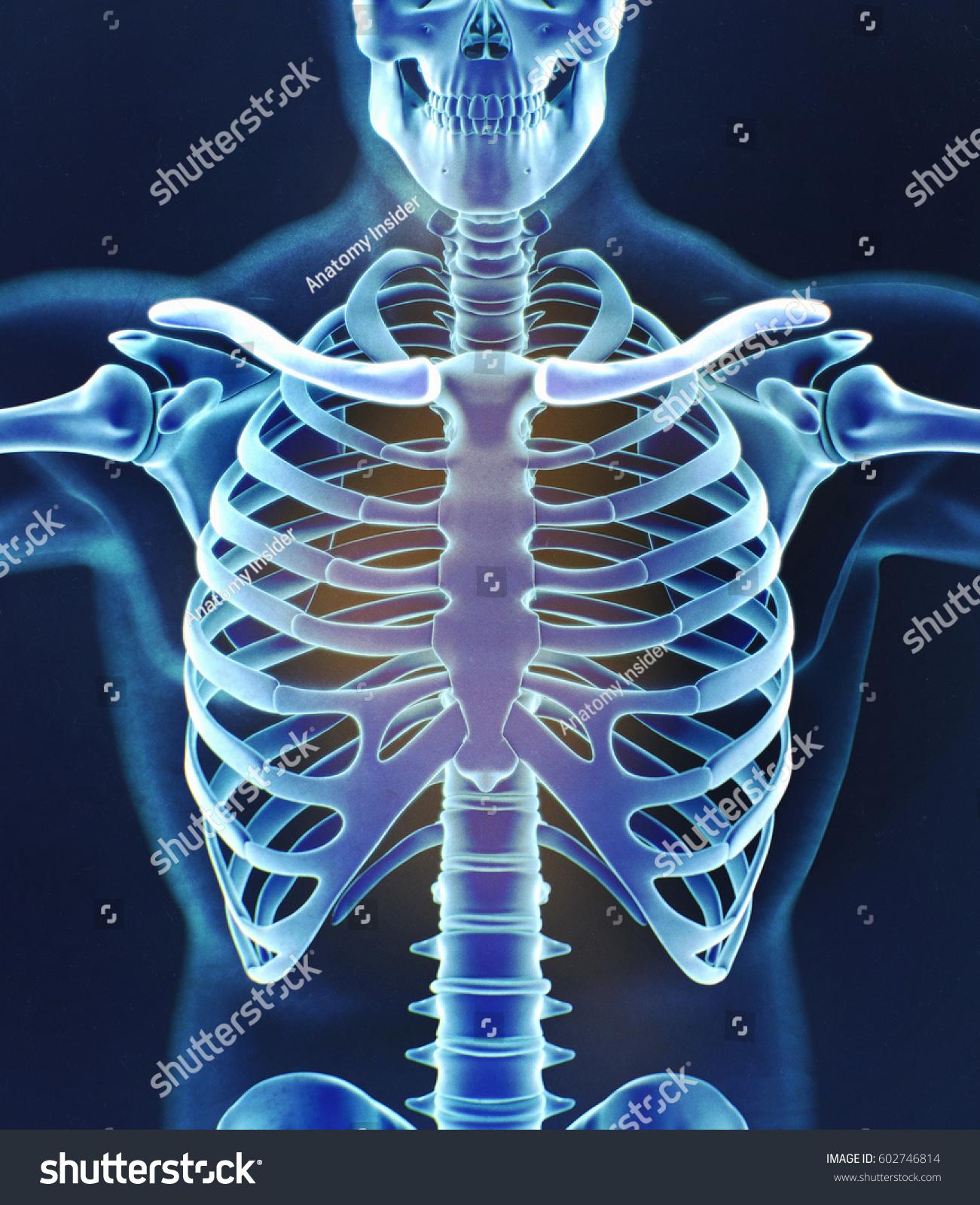 Royalty Free Stock Illustration Of Human Skeleton Anatomy Torso