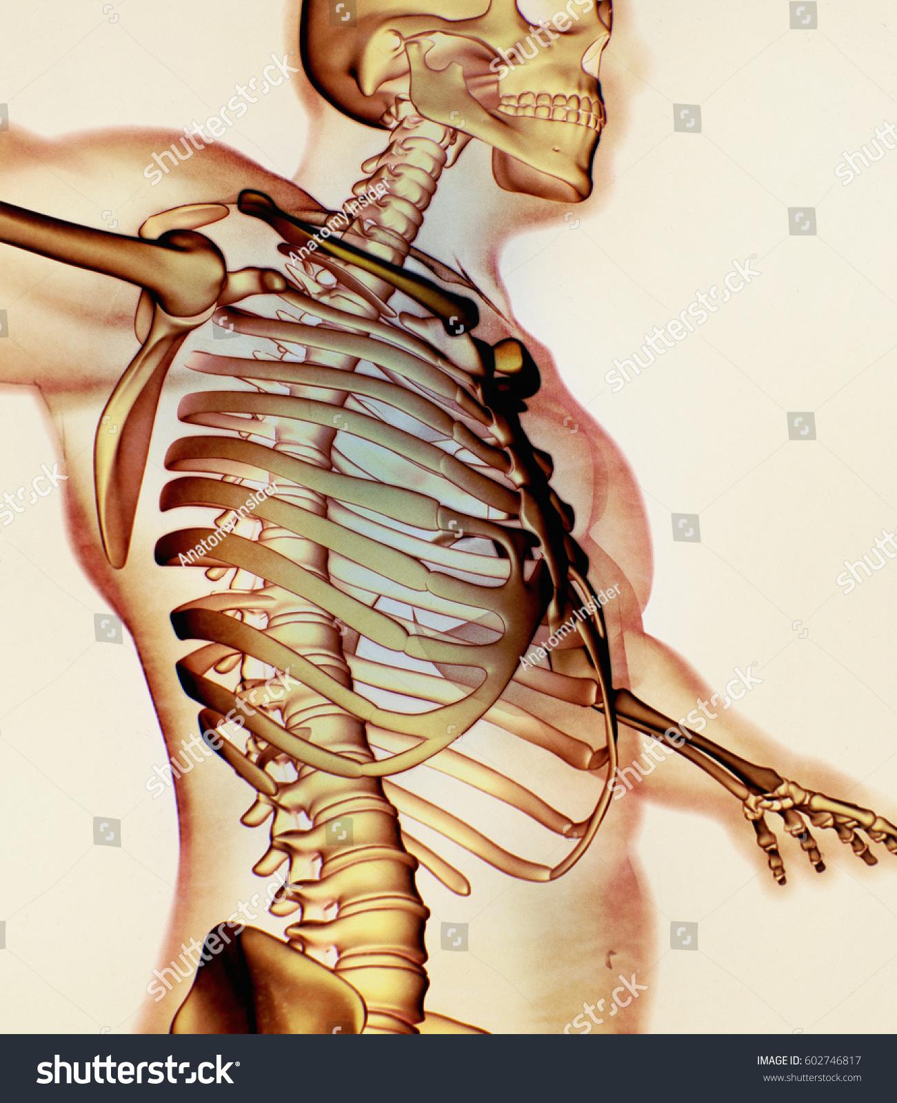 Xray Image Human Anatomy Torso Skeletal Stock Illustration 602746817