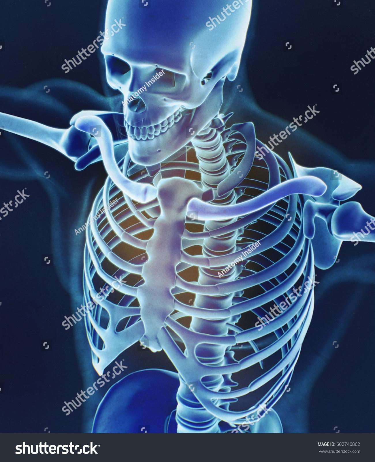 Human Skeleton Anatomy Torso Skeletal Structure Stock Illustration