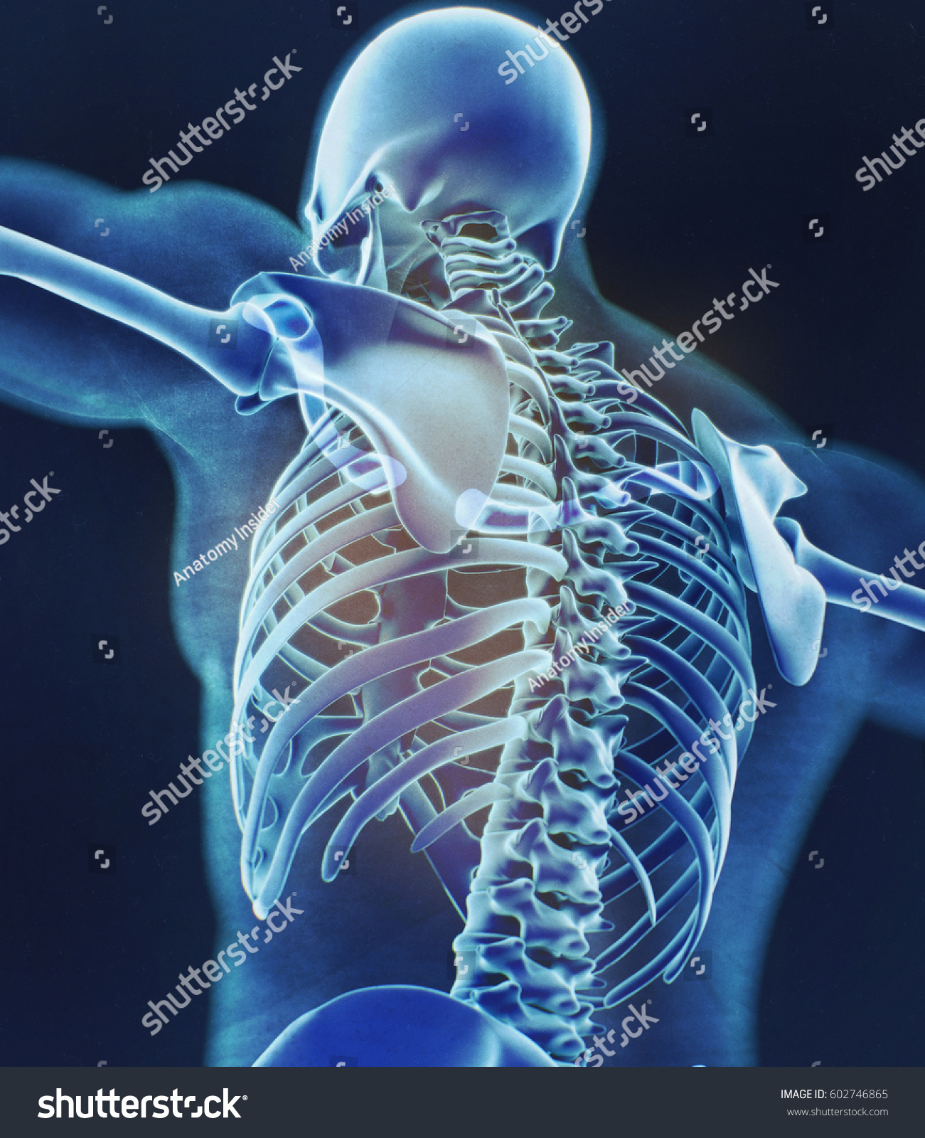Human Skeleton Anatomy Torso Skeletal Structure Stock Illustration