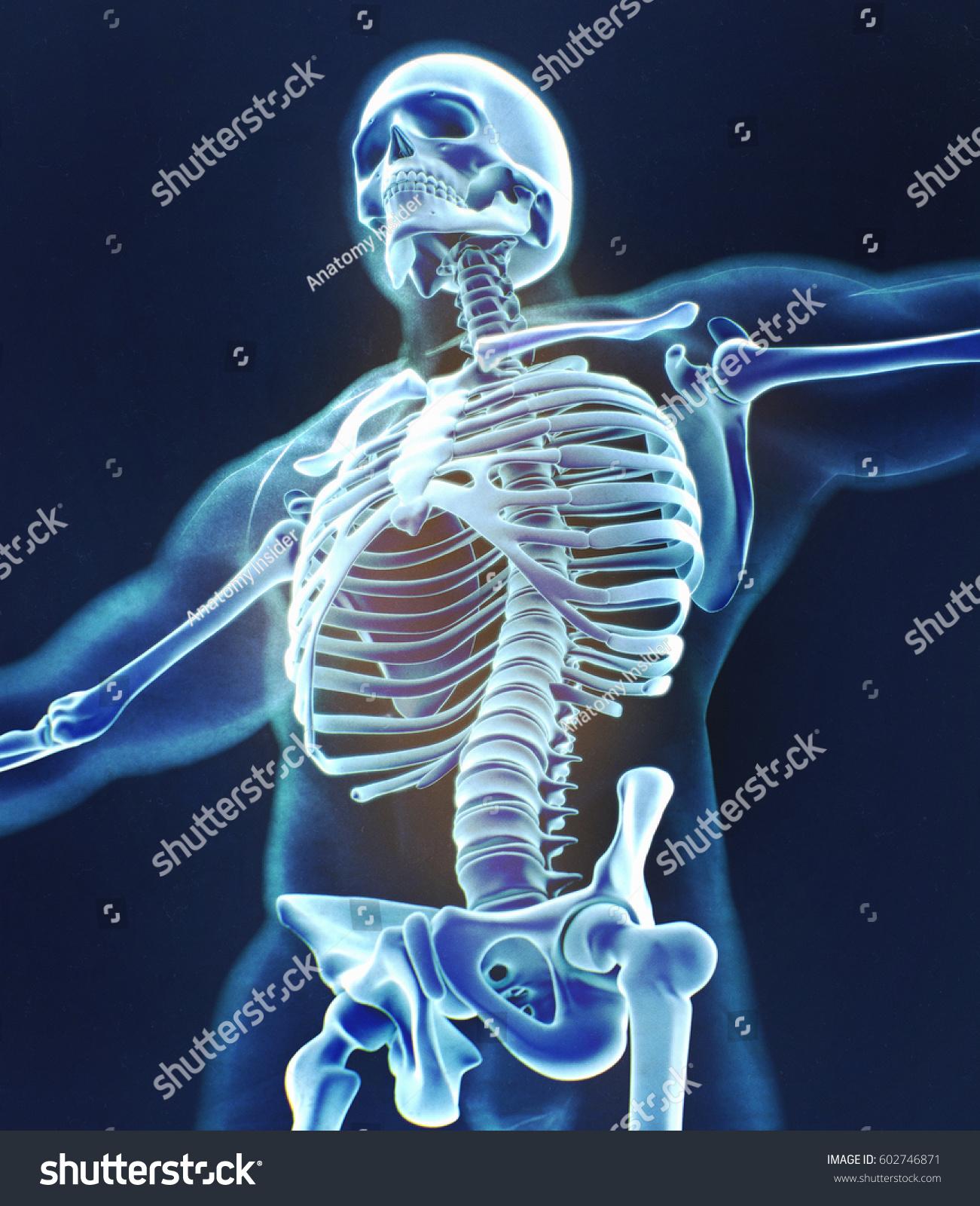 Human Skeleton Anatomy Torso Skeletal Structure Bones Xray 3d