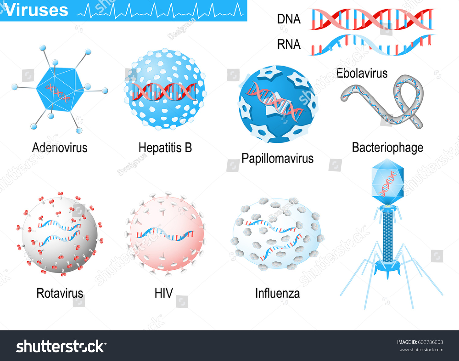 Viruses diagram showing shapes virions bacteriophage em vetor stock viruses diagram showing shapes of virions bacteriophage ebolavirus hepatitis rotavirus ccuart Image collections