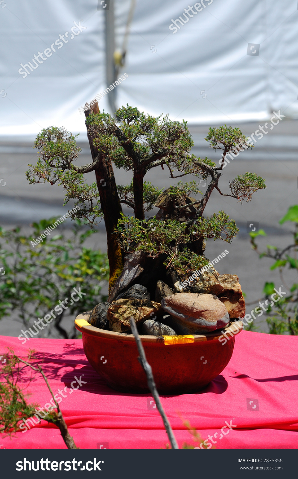 Bonsai Tree Creatively Made Wild Trees Stock Photo Edit Now 602835356