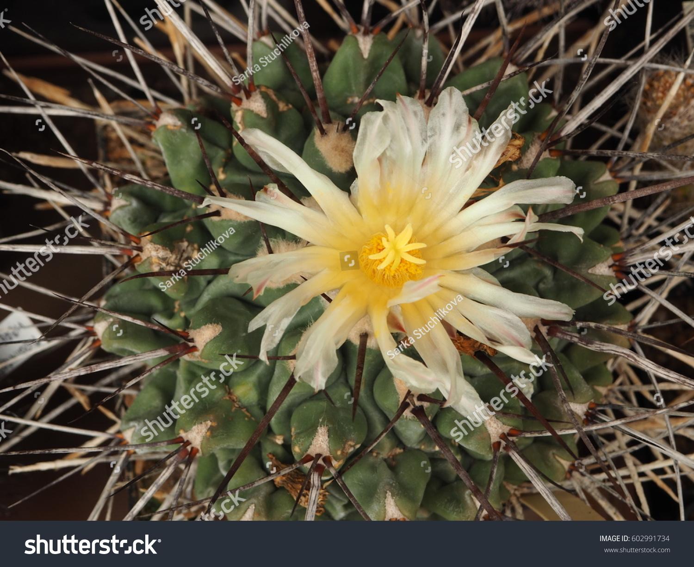 Cactus Stenocactus Yellow Flower Stock Photo Edit Now 602991734