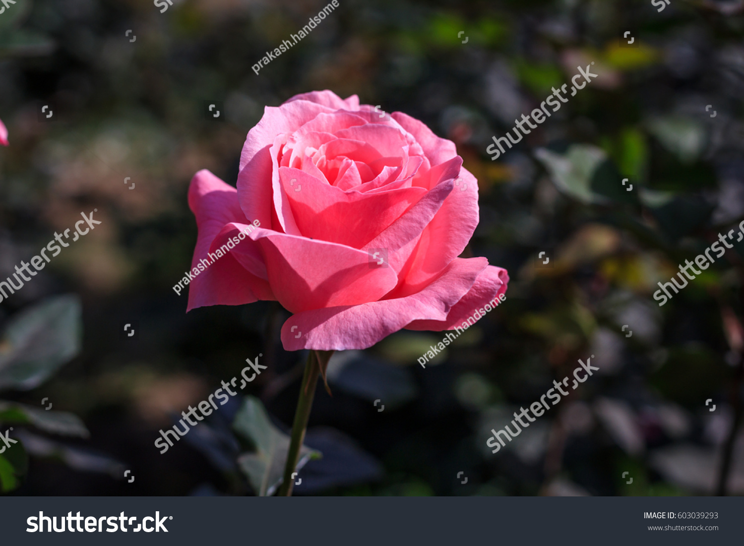 Early morning beautiful rose flower garden stock photo edit now early morning beautiful rose flower garden dew on roses with awesome colors and verity with izmirmasajfo
