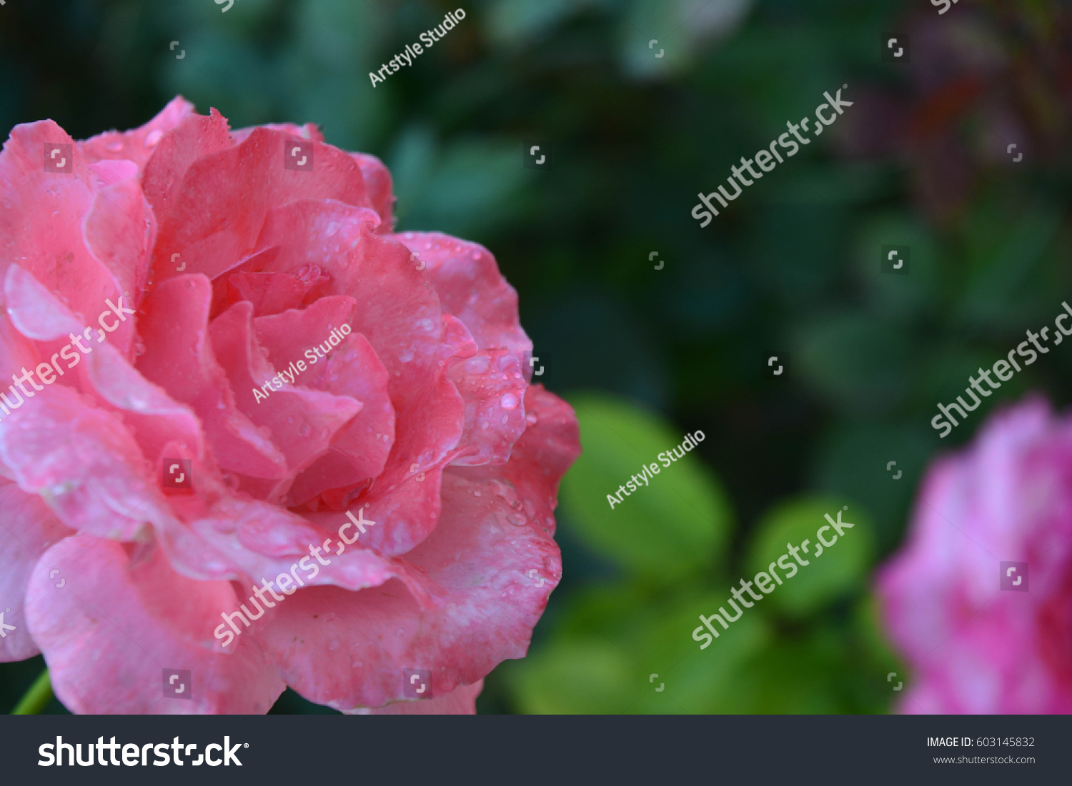 A beautiful rose ez canvas id 603145832 izmirmasajfo
