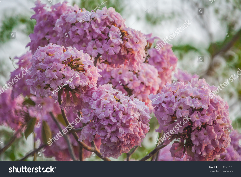 Tabebuia Rosea Pink Flower Neotropical Tree Stock Photo Edit Now