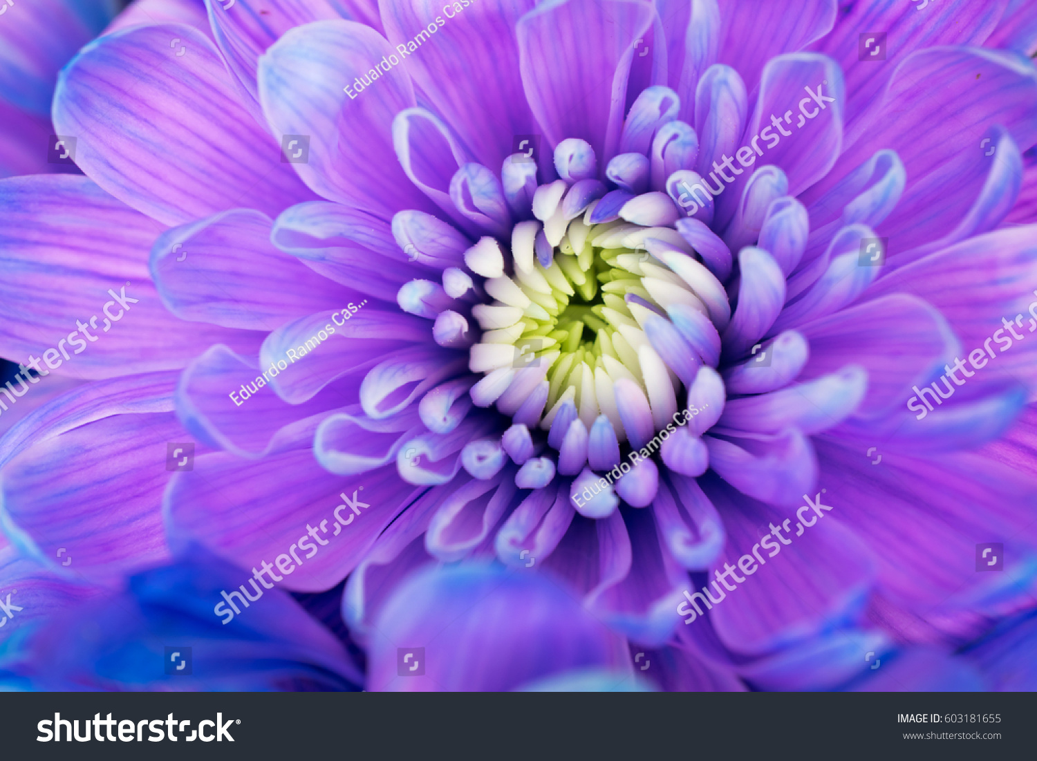 Blue violet flowers stock photo edit now 603181655 shutterstock blue and violet flowers izmirmasajfo