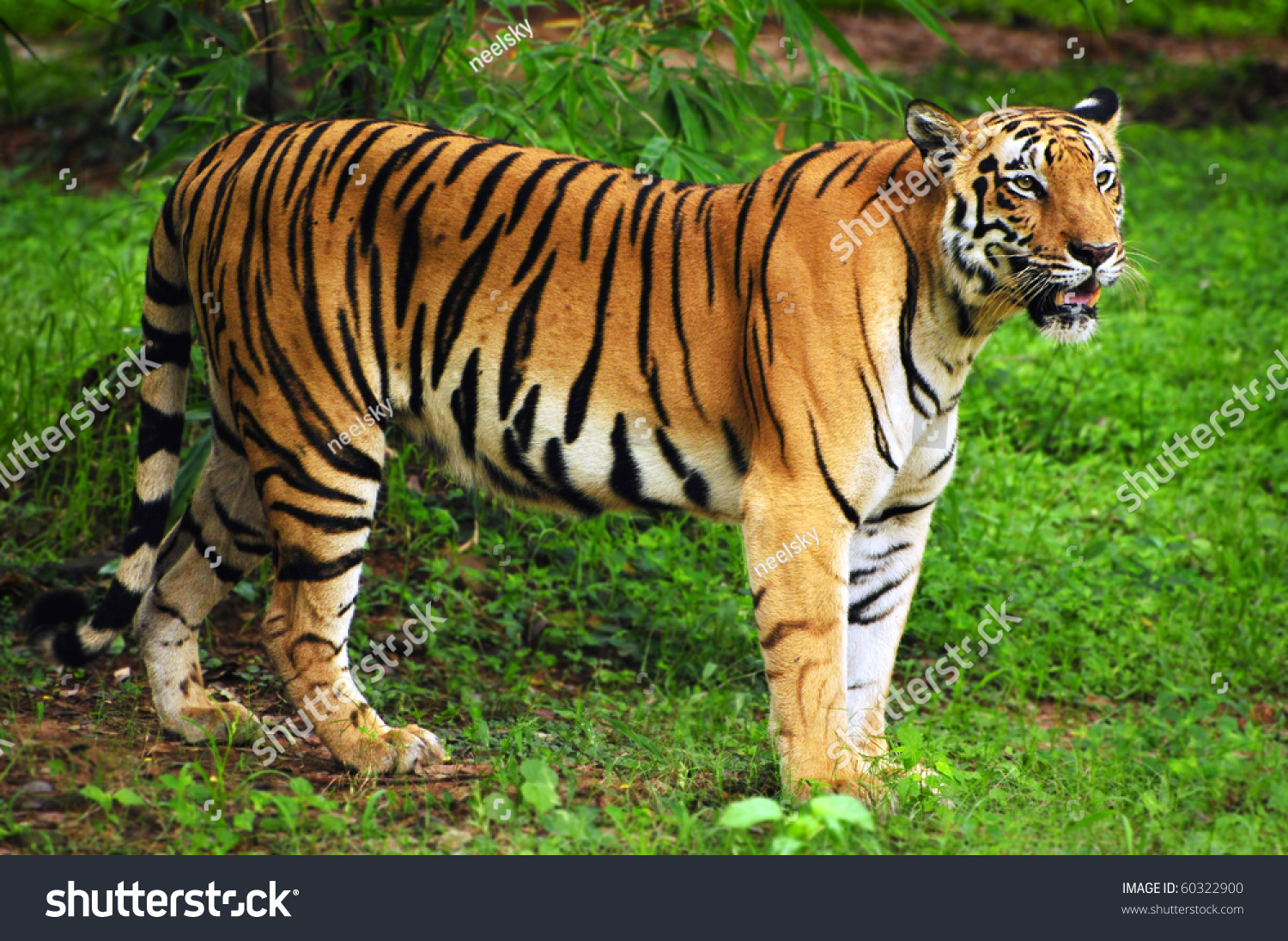 royal bengal tiger natural habitat sundarban stock photo (edit now