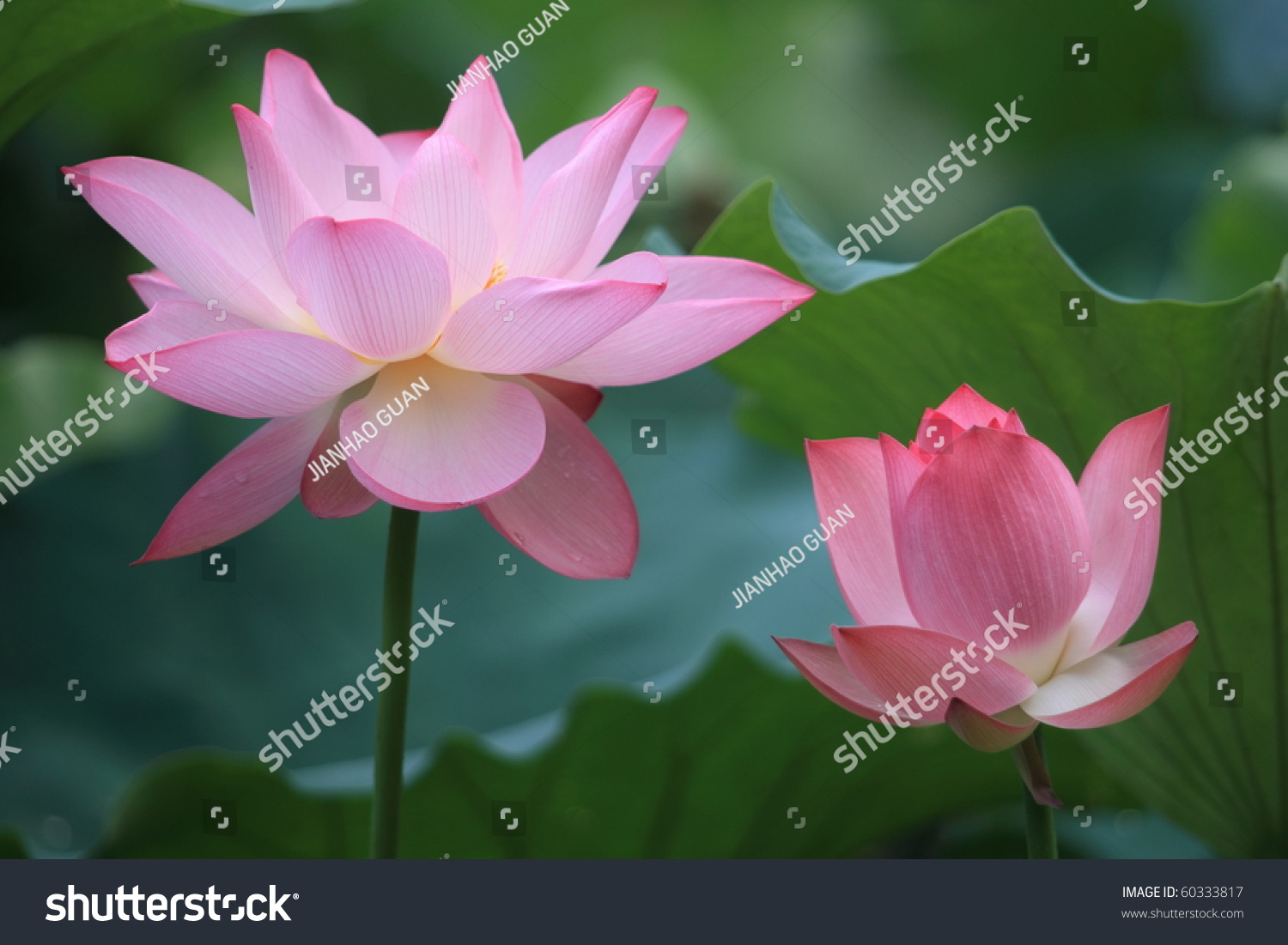 Two Flowers Lotus Stock Photo Edit Now 60333817 Shutterstock