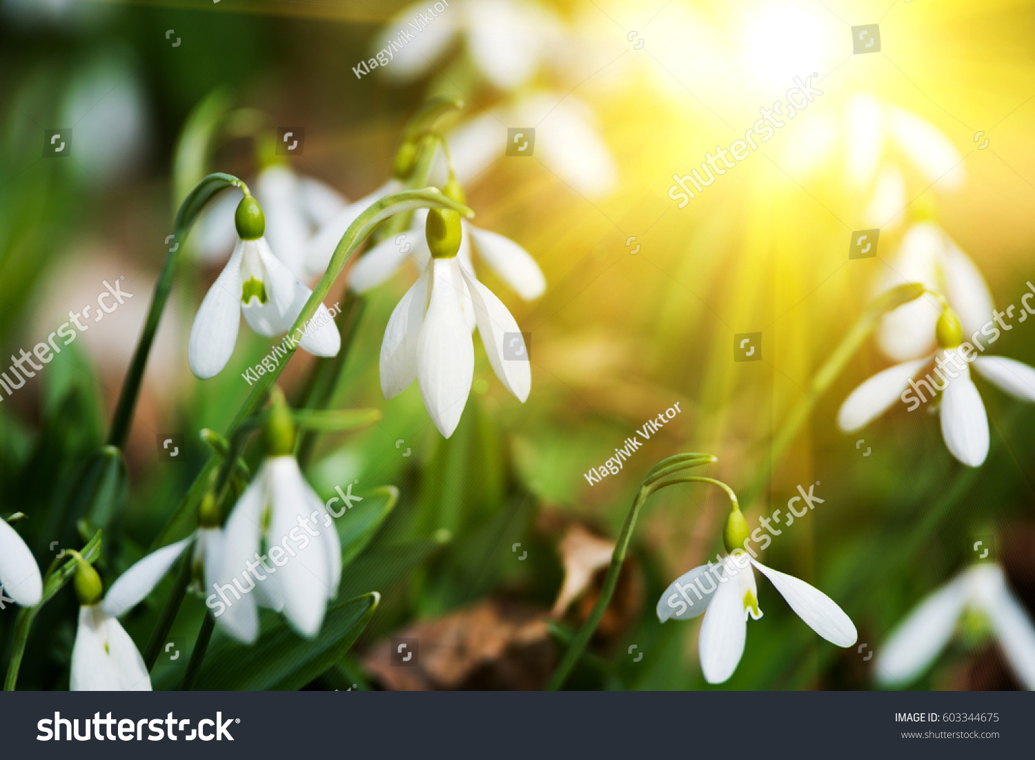 White Snowdrop Flowers Spring Stock Photo Edit Now 603344675