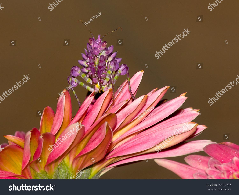 Praying Mantis Grub On Pink Barberton Stock Photo Edit Now