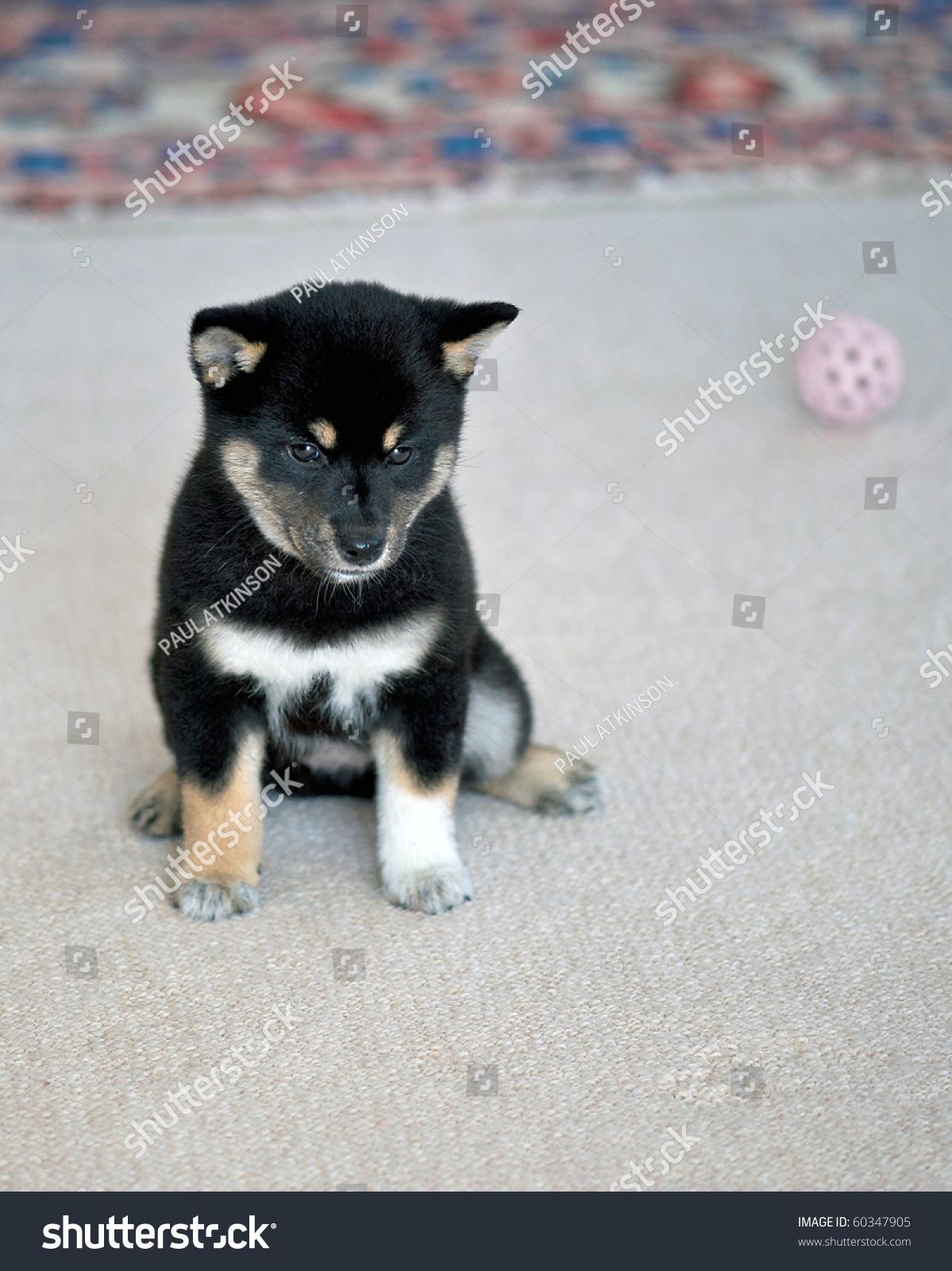Black Tan Shiba Inu Puppy Stock Photo Edit Now 60347905