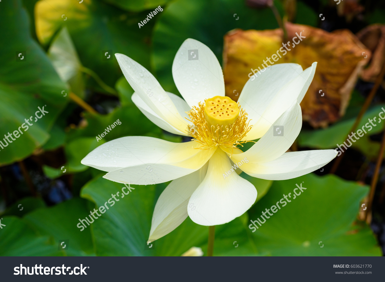 Closeup Of A Booming White Lotus In The Lake Symbol Of Purity Ez