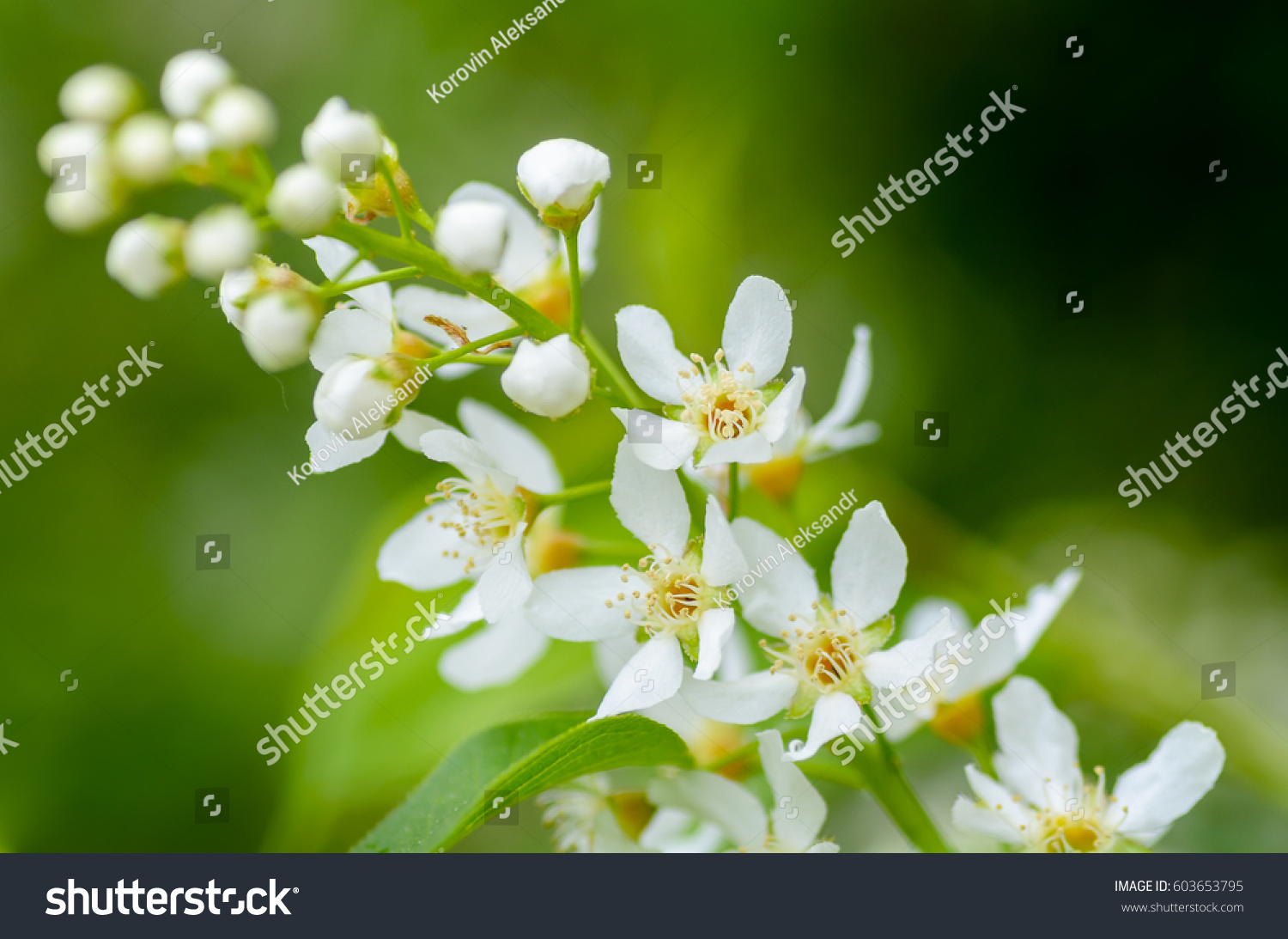 White Fragrant Flowers Of The Bird Cherry Tree Blossomed In The