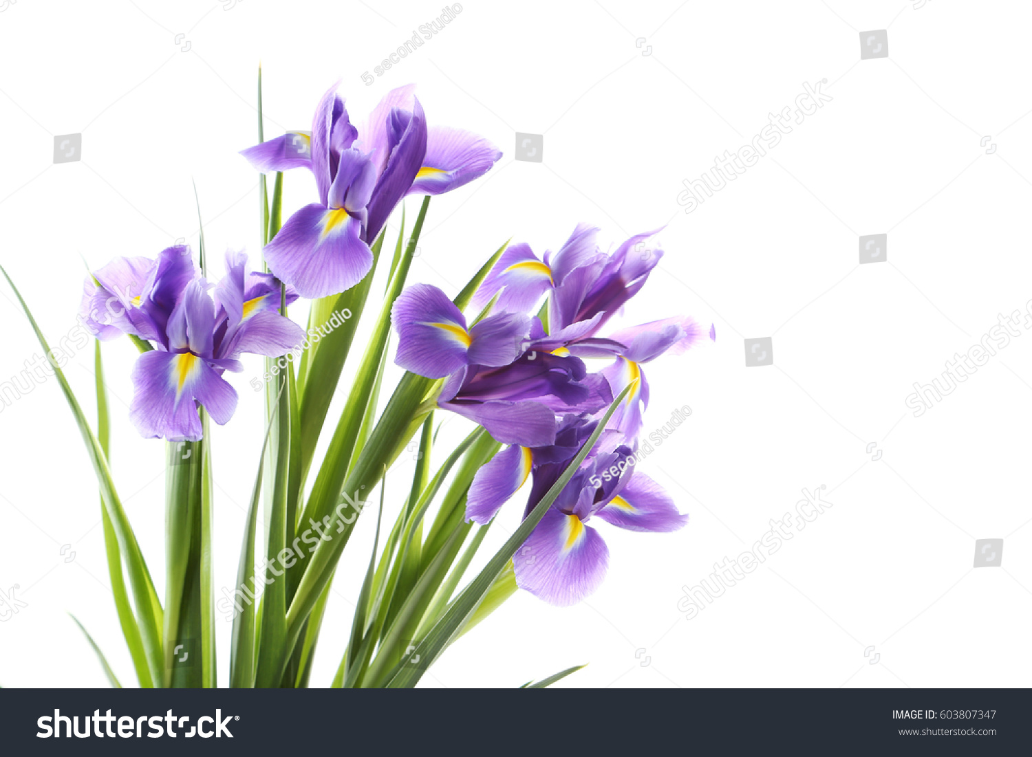 Bouquet of iris flowers isolated on a white ez canvas id 603807347 izmirmasajfo