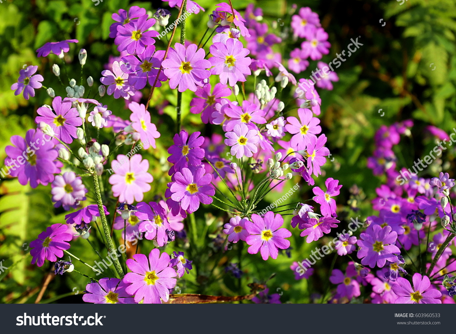 Pinkish Purple Flowers Yellow Center Five Stock Photo Royalty Free