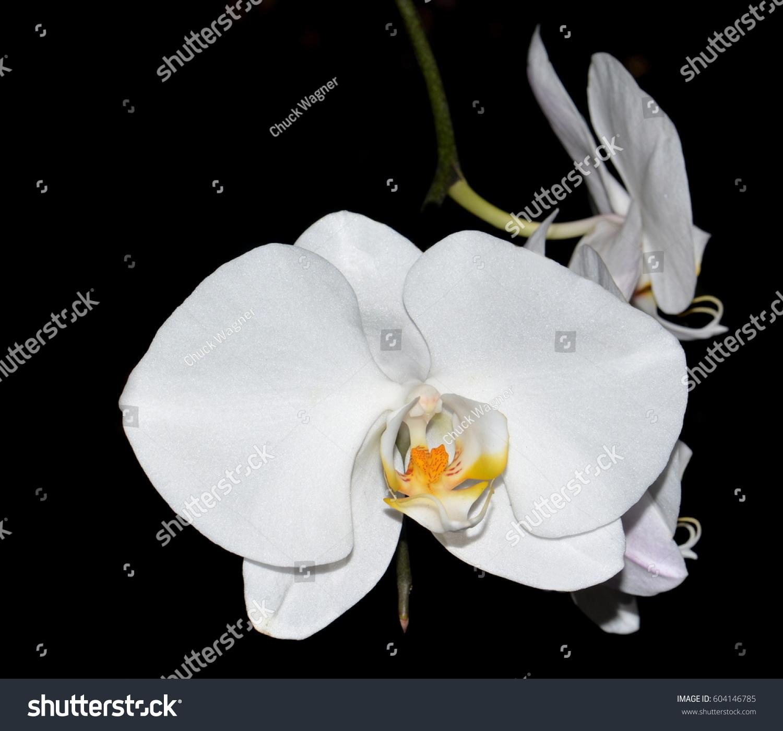 Close White Orchid Flower Yellow Orange Stock Photo (Edit Now ...