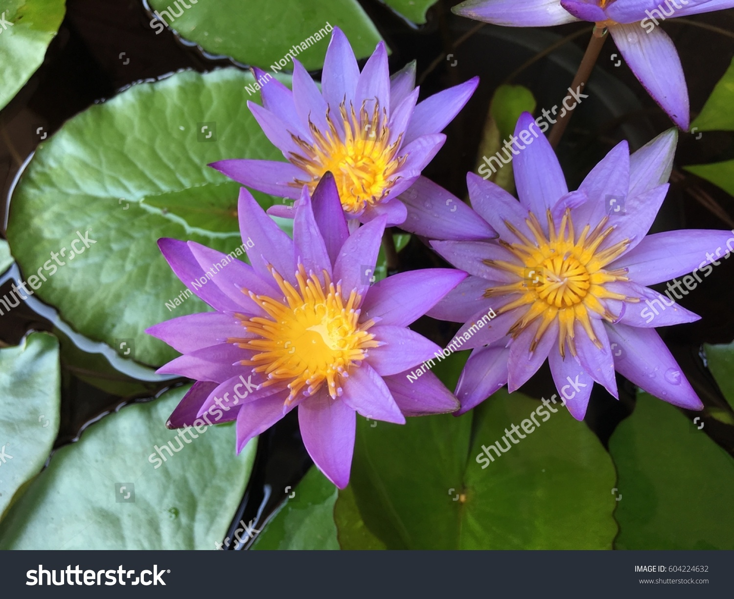 A Beautiful Pink Waterlily Or Lotus Flower In Pond Ez Canvas