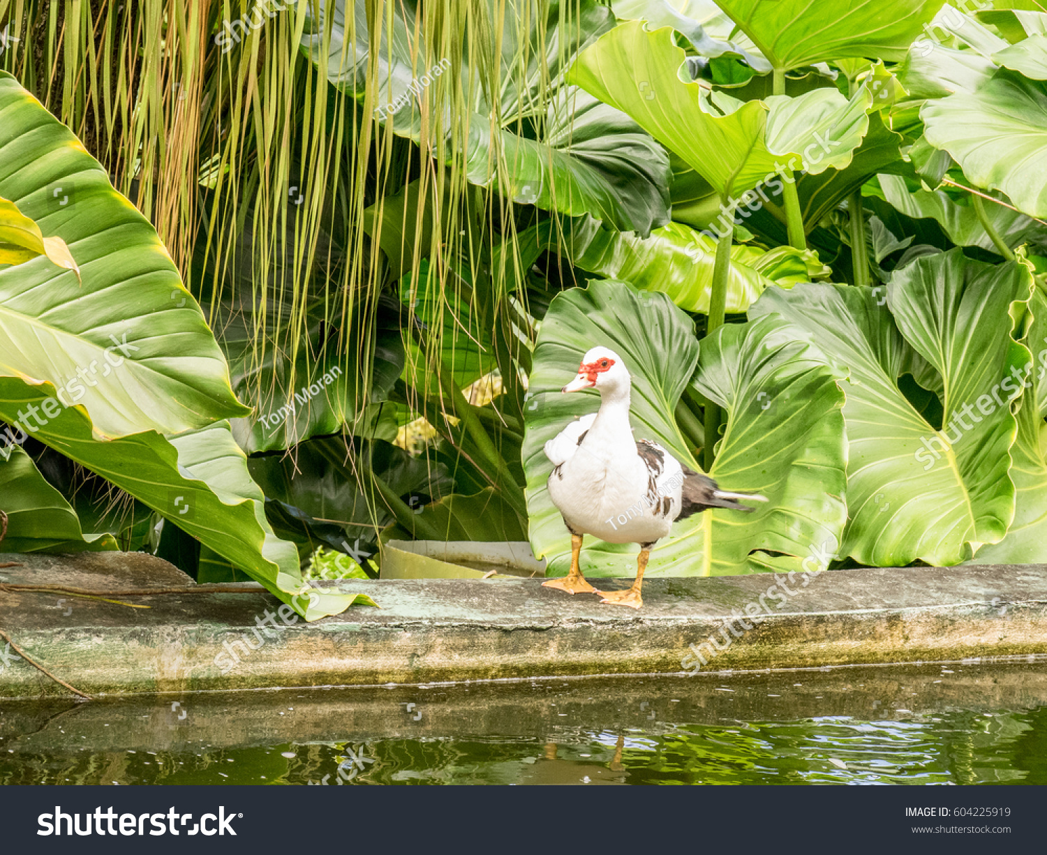 Muscovy duck family garden pool st stock photo 604225919 for Family garden pool