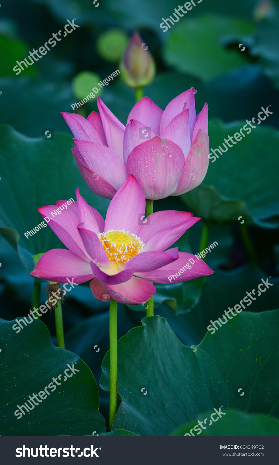 Lotus Flowers Blooming On Pond Summer Stock Photo Edit Now