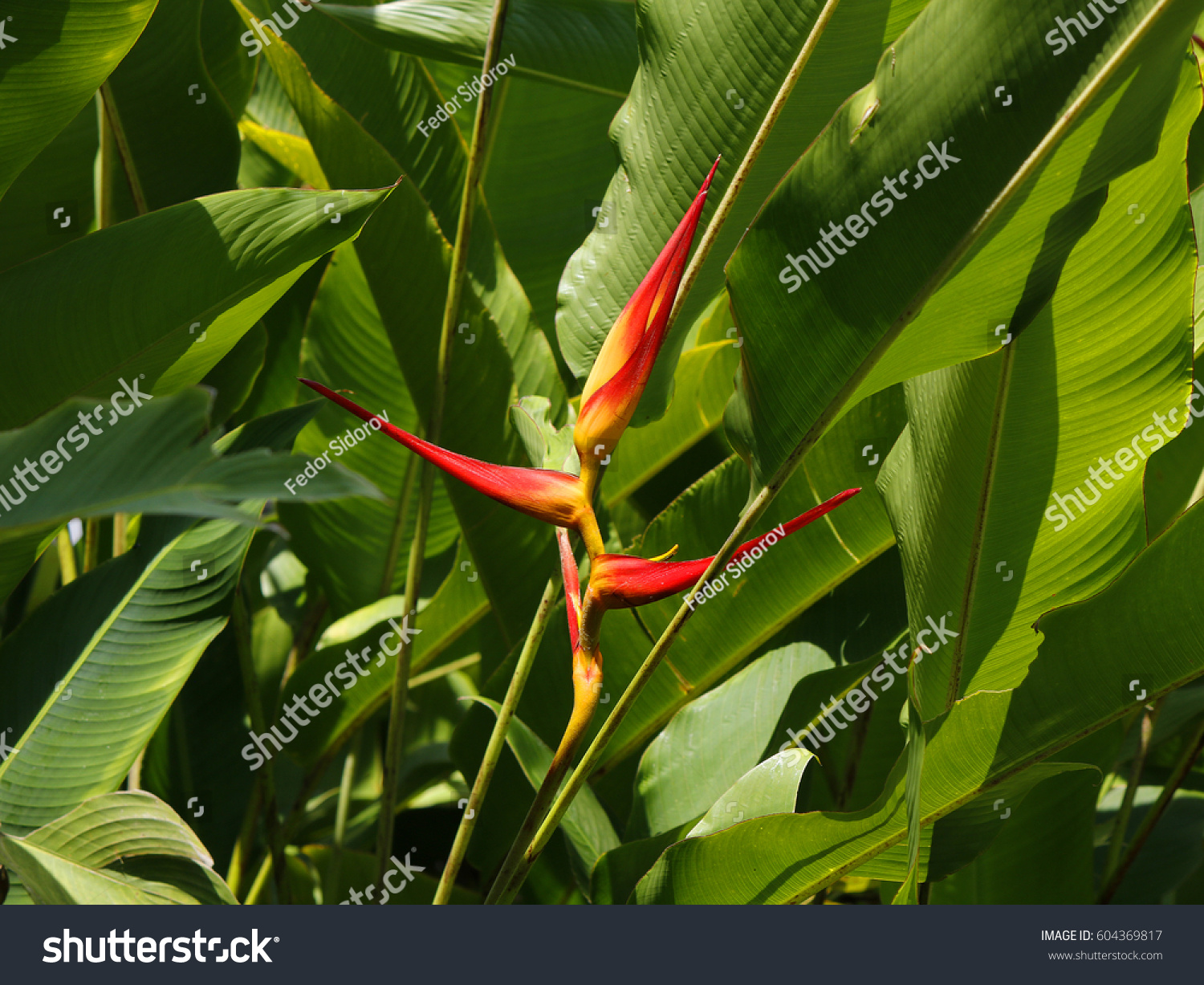 Bird Paradise Exotic Red Yellow Flowers Stock Photo Royalty Free