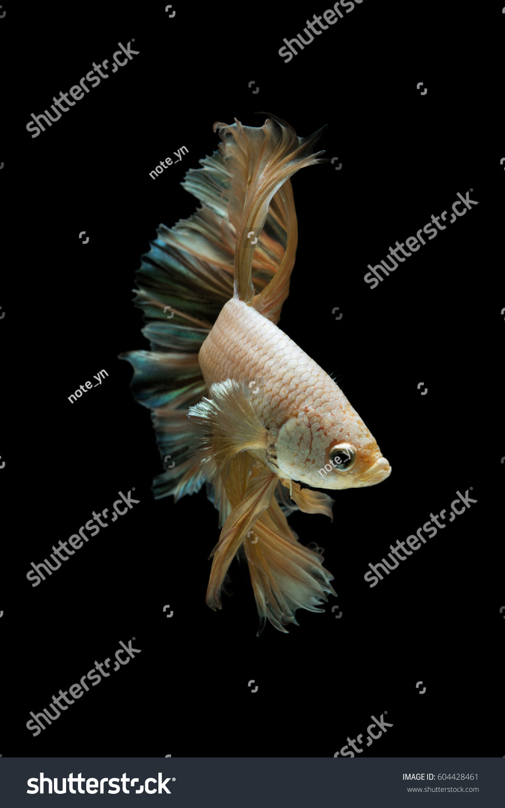 Betta fish gold dragon on black stock photo 604428461 for Fish for gold